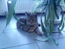 Bengáli keverék cicus