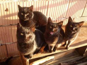 fekete cicák