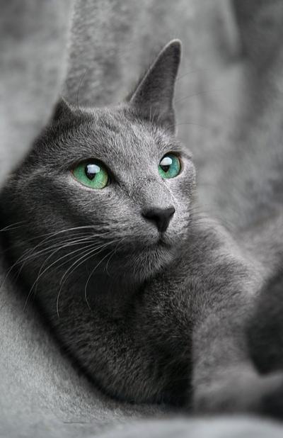 szürke cica zöld szemekkel