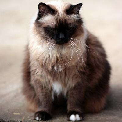 Dagi cica