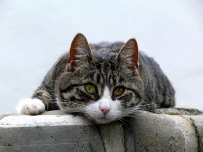 figyelő cica